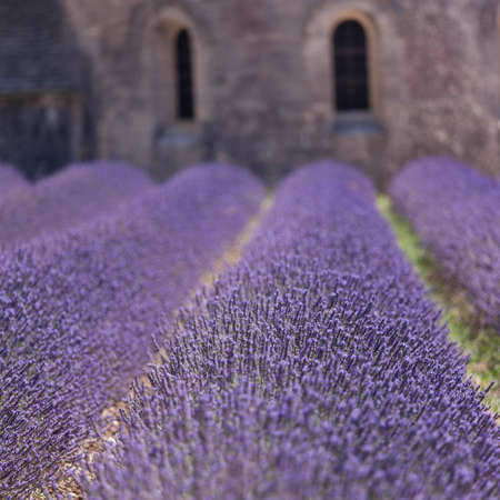 Holy lavender photo