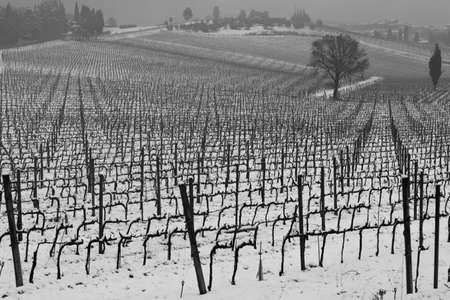 rurale: Rows of vineyard in Chianti, Italia