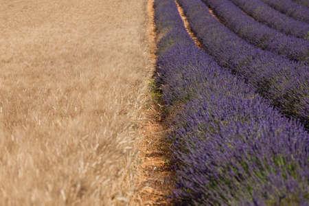 Corn and lavender photo
