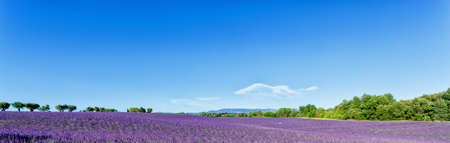 Lavender fields panorama in South France photo