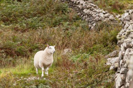 ovine: Scotland pasturing sheep in a meadow on Skye Stock Photo