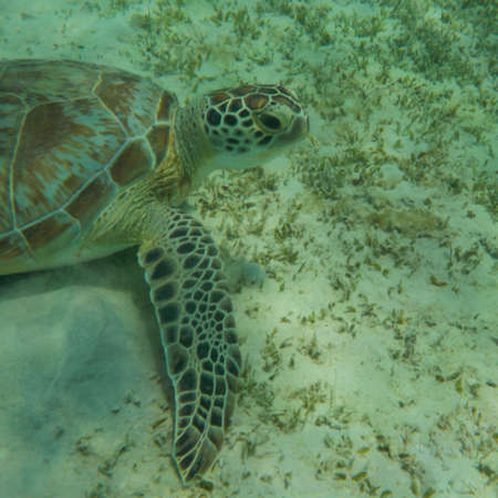 chelonia: turtle eating seaweed colder in a lagoon of the Red Sea