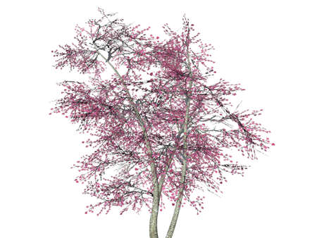 3D Japanese Cherry Blossom tree isolated on white background Stock Photo