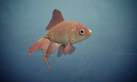 goldfish isolated on blue background photo