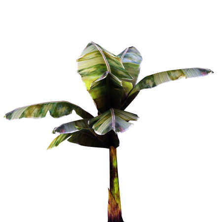 banana tree isolated on white background Stock Photo - 17030851