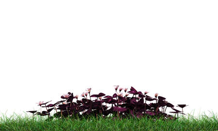 creeping woodsorrel: oxalis on green grass isolated on white background