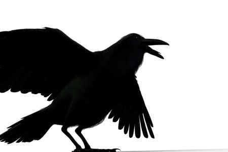 black raven: black raven isolated on white background