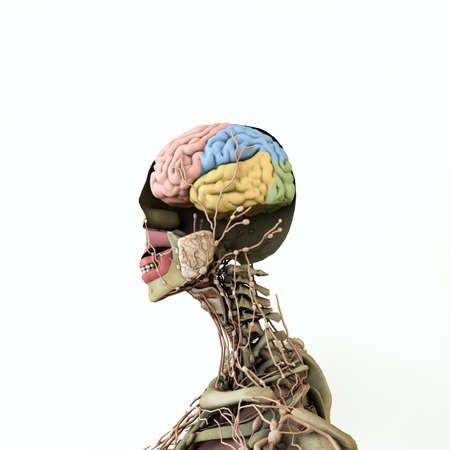 women anatomy model isolated on white background 3d illustration Standard-Bild - 132031818
