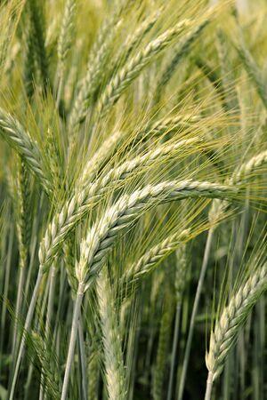 O�dos de maduraci�n del trigo o la cebada se cultiva como cereales agr�cola y cosecha de granos