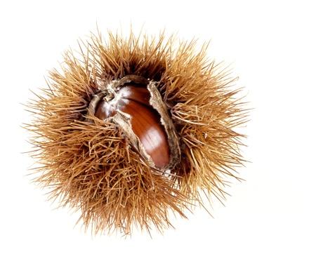 castanea sativa: Ripe sweet chestnut, Castanea sativa, in its spiky husk split open to reveal the fruit or nut isolated on white Stock Photo