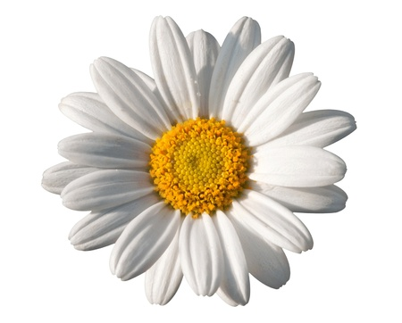 Beautiful pure white oxeye daisy with its vivid yellow centre isolated on a white background signifying spring photo
