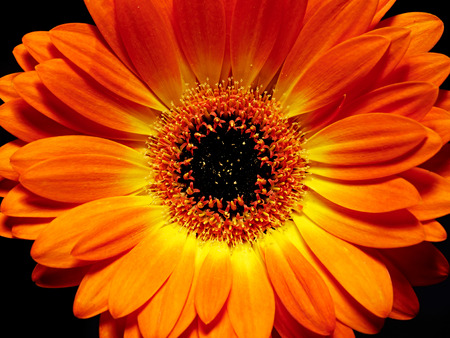 barberton daisy: Close up of an orange Gerbera, or Barberton daisy, which originated from South Africa and is one of the most widely used ornamental flowers in floristry and flower arrangements