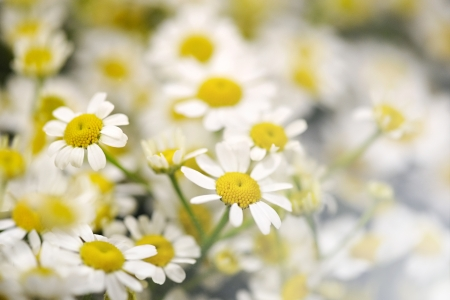 centres: Background of fresh white daisies with their colourful yellow centres, symbolic of spring and summer