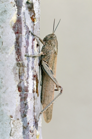 acrididae: Close up side view of a large adult locust or grasshopper on a rough surface of a wall against a pale grey background