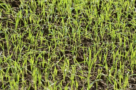 sprouting: Background texture of fresh young sprouting green grass blades
