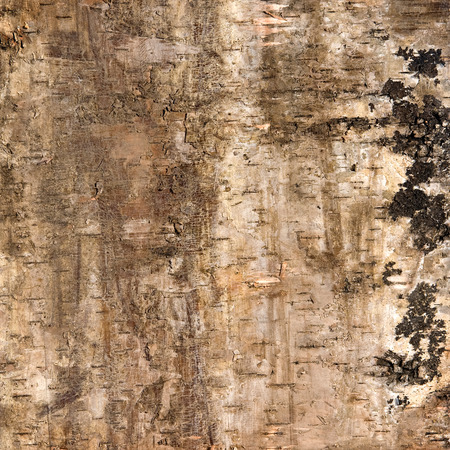 bark peeling from tree: Background of birch bark with closeup detail of the striations and peeling silvery coloured bark typical of a white birch tree planted by forestry for timber