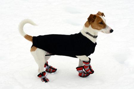 보호를 위해 모든 네 발에 눈 신발을 착용하는 귀여운 작은 테리어와 추운 겨울 날씨에 대 한 따뜻한 코트 서 오른쪽으로 경고하는 신선한 눈에 서 서