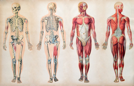 Old vintage anatomy charts of the human body showing the skeletal system and various muscles, four figures in a row in different orientations Фото со стока