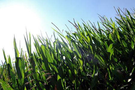 zea: Fresh green maize or corn plants, Zea mays, growing under a hot summer sun in an agricultural field