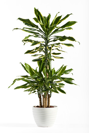 Close up Fresh Look Dracaena Fragrans Flowering Plant on Shiny White Pot Isolated on White Background. Stock Photo