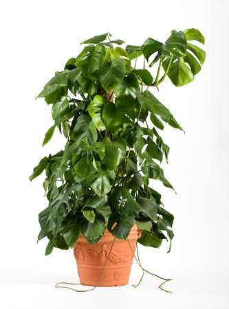 Leafy green delicious monster plant in a terracotta flowerpot growing up a central stake for indoor or patio decor as an ornamental foliage plant, over white Banque d'images