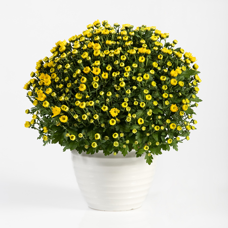 fresh pot: Pot of yellow flowering chrysanthemums for indoor decoration in autumn and early winter in a plain white flowerpot over a white background Stock Photo