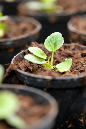 transplanted: Newly transplanted seedling in a nursery being hardened off in a flowerpot for sale as a garden or houseplant Stock Photo