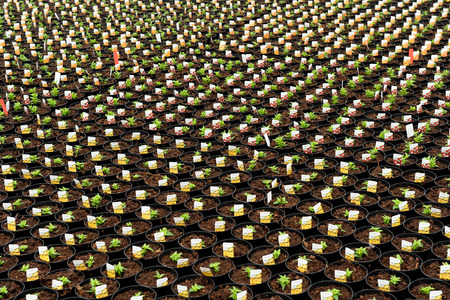 transplanted: Huge number of newly transplanted seedlings planted into flowerpots for hardening off for retail with horticultural labels in each pot at a commercial nursery Stock Photo