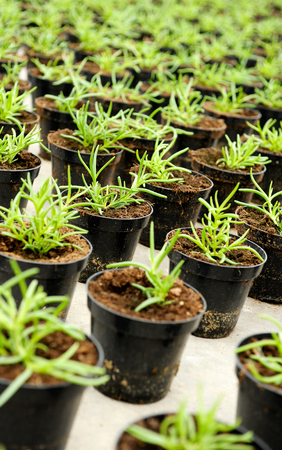 transplanted: Transplanted seedlings in a nursery potted into flowerpots for retail as ornamental houseplants or for planting out in the garden arranged in rows Stock Photo