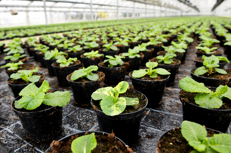 transplanted: Young leafy ornamental plants being cultivated in flowerpots in a hothouse at a nursery or farm for retail as house or garden plants standing in long receding rows Stock Photo
