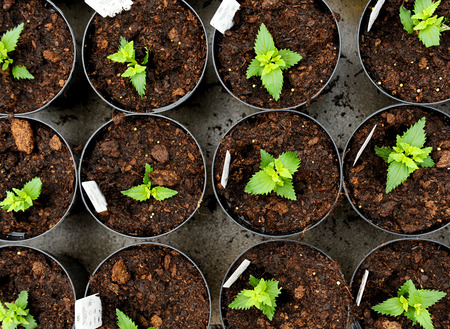 transplanted: Overhead view of young nemesia seedlings in flowerpots with information labels being cultivated at a nursery of horticultural farm