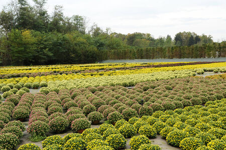 Extensive View of Beautiful Field of Fresh Chrysanthemum Flower Plants with Assorted Colored Flowers. Stock Photo