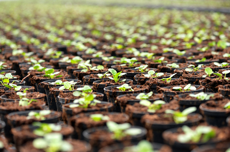 Transplanted seedlings at a nursery or horticultural farm growing in flowerpots to be sold as ornamental houseplants, selective focus to a single plant Stock Photo