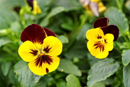 ground cover: Close up of the flowers on a pretty bicolor yellow and purple violet cultivated as a decorative houseplant or ground cover in the garden
