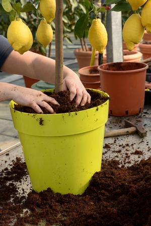 정원사는 나무의 줄기 주위에 풍부한 비옥 한 화분 용 흙을 배치 큰 노란색 냄비에 신선한 과일 레몬 나무를 화분