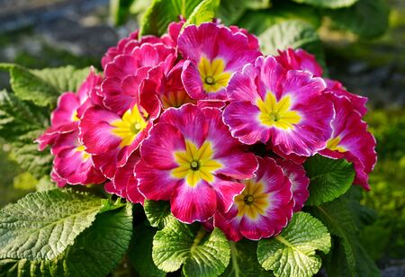 ornamental horticulture: Flowering red and yellow bicolor primrose on a potted plant in a nursery Stock Photo
