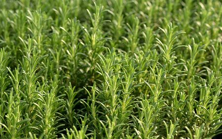 potherb: Fresh rosemary plants growing in a garden or nursery for use as an aromatic culinary potherb Stock Photo