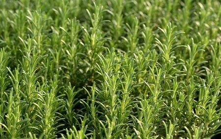 potherb: Plantas de romero frescas que crecen en un jard�n o vivero para su uso como potherb culinario arom�tico