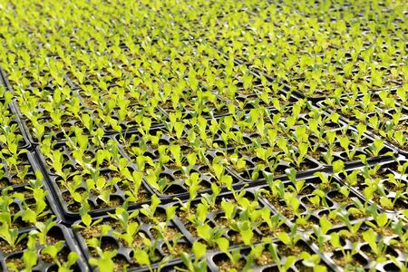 propagation: Salad plantation on a farm or nursery with rows of small fresh green seedlings in plastic containers sprouting at the start of spring