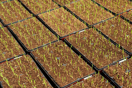 Corn plantation with young seedlings planted out in trays during germination and hardening off while being propagated at a nursery