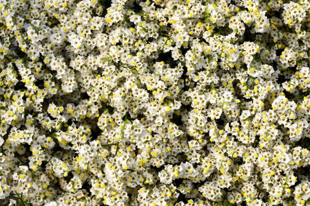dainty: Overhead view of pretty limonium, marsh rosemary or sea lavender with ts dainty white flowers which grow on salt marshes in a full frame background view