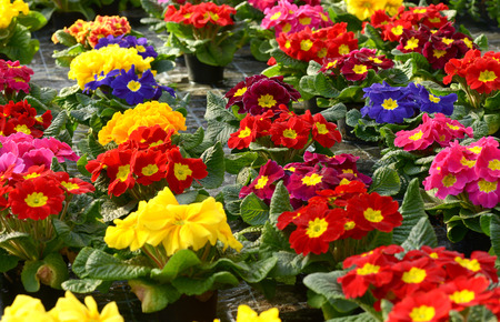 floriculture: Colorful vibrant selection of spring primroses growing in a plantation on a floriculture farm or nursery