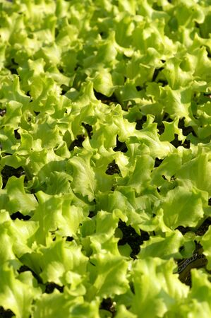 propagation: Young fresh green lettuce plants being cultivated on a farm or nursery for use as salad ingredients in a close up background view