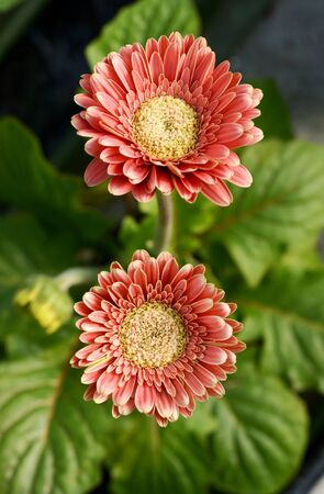 floristry: Flowering red Gerbera daisies originating from South Africa and a popular ornamental flower used in floristry and flower arrangements Stock Photo