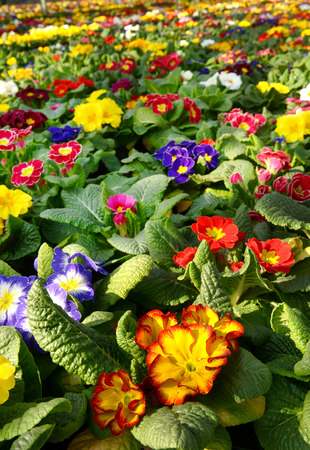 floriculture: Botanical background of vibrant colorful multicolored primroses in a floriculture plantation