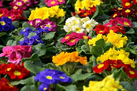 flower nursery: Background of vibrany multicolored spring Primula or Primroses being cultivated in a field on a flower farm or nursery Stock Photo