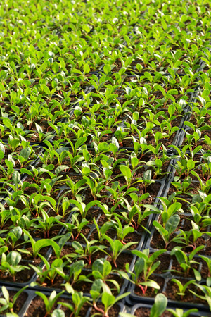 transplanted: Salad plantation with rows of small leafy green seedlings transplanted into trays during propagation