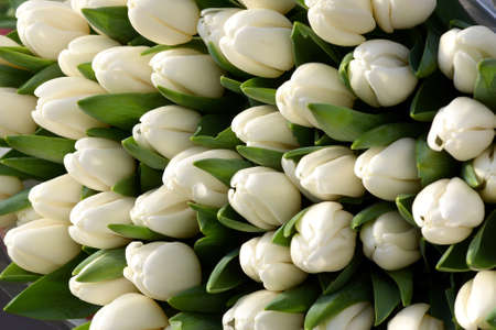floriculture: Close Up of White Tulip Flowers in Bloom Ideal for Backgrounds and seen from Above