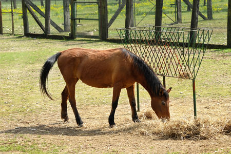 One Brown Horse Animal Eating Hay Beside the Hay Rack at the Farm on a Sunny Climate