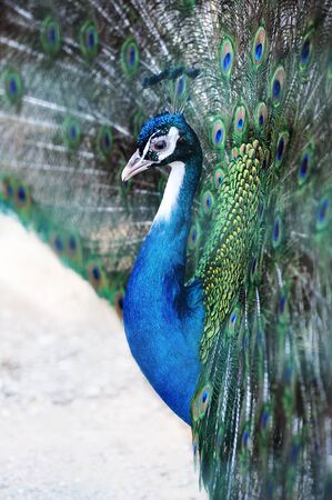 iridescent: Close up view of the head of a peacock with iridescent blue feathers displaying the tail covert feathers in a mating display